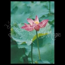 Lotus Postkaart