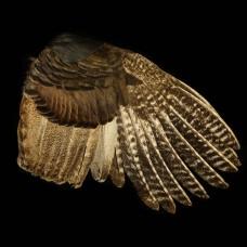 Grote Smudge Vleugel Kalkoen