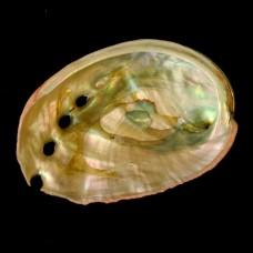Abalone Schelp Mini